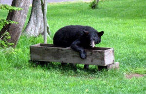 Black Bear at Trough 1